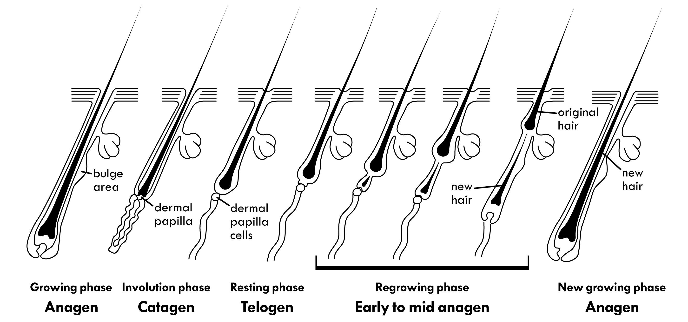 fig5-hair-cycle